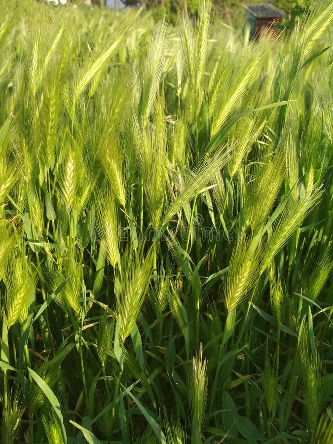 Triticale, Food Grain, Barley, Grass royalty free stock image