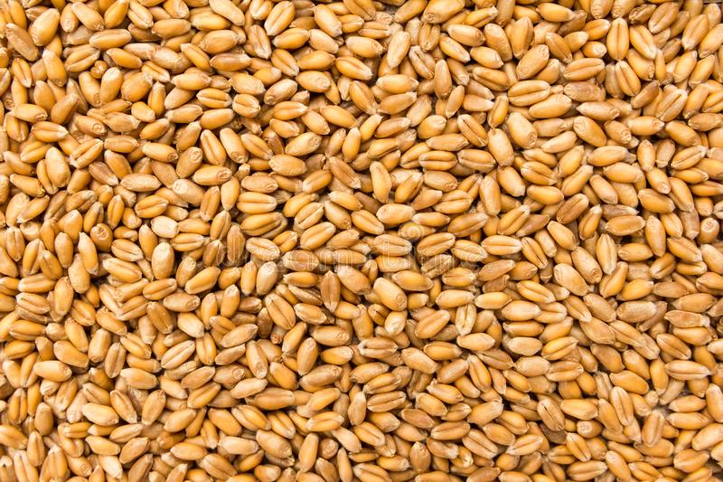 Wheat cereal grain. Closeup of grains, background use. stock photography