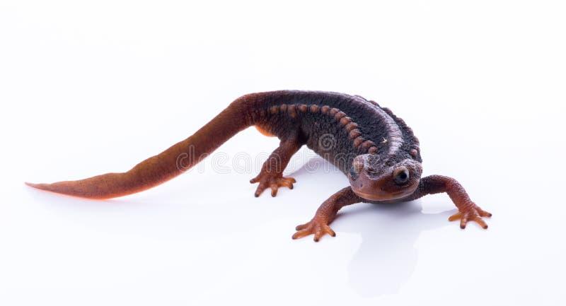 Tritone himalayano della salamandra su fondo bianco e vita sul Th fotografia stock libera da diritti