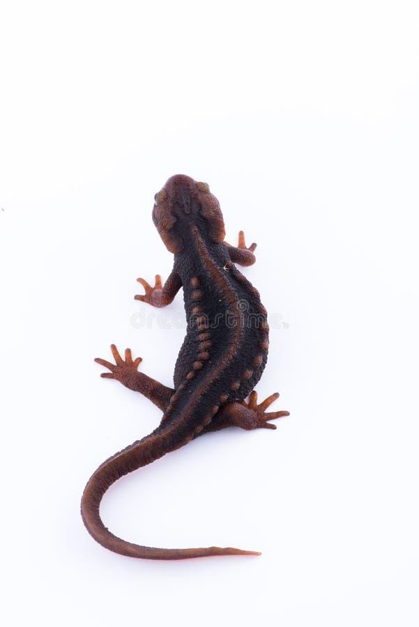 Tritone himalayano della salamandra su fondo bianco e vita sul Th fotografie stock