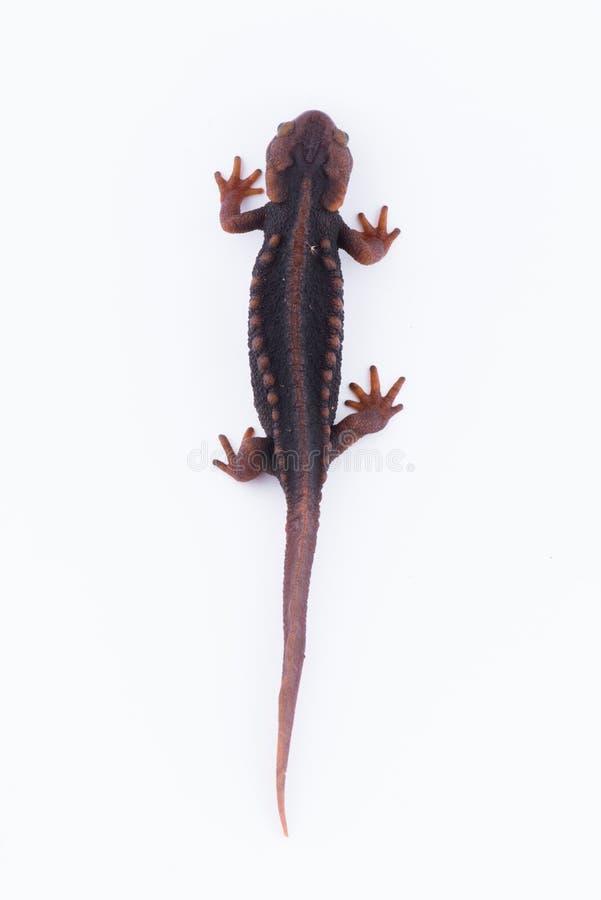 Tritone himalayano della salamandra su fondo bianco e vita sul Th immagine stock libera da diritti
