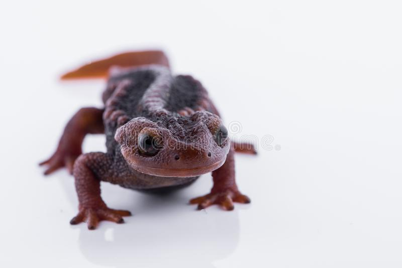 Tritone himalayano della salamandra su fondo bianco e vita sul Th fotografia stock