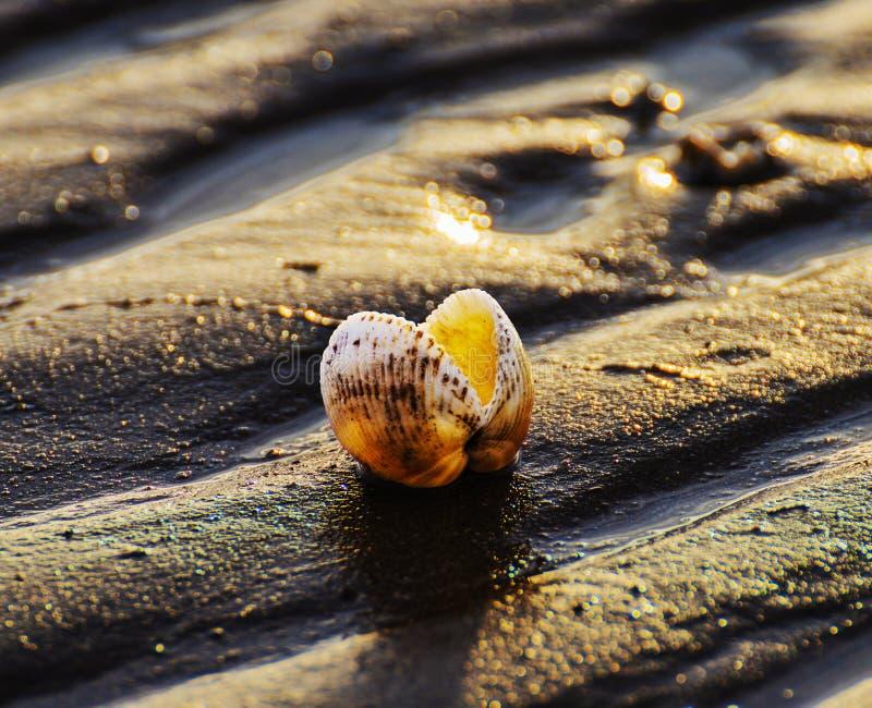 Tritonshorn auf Strand, Xingcheng-Stadt, China lizenzfreies stockbild