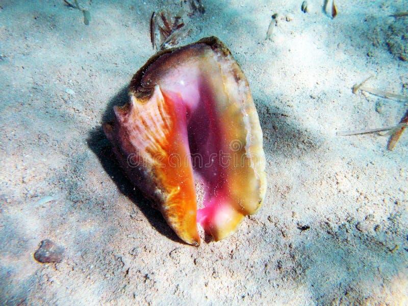 Tritonshorn Shell Under The Sea stockbilder