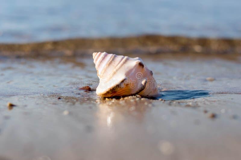 Tritonshornoberteil im Sand lizenzfreies stockbild
