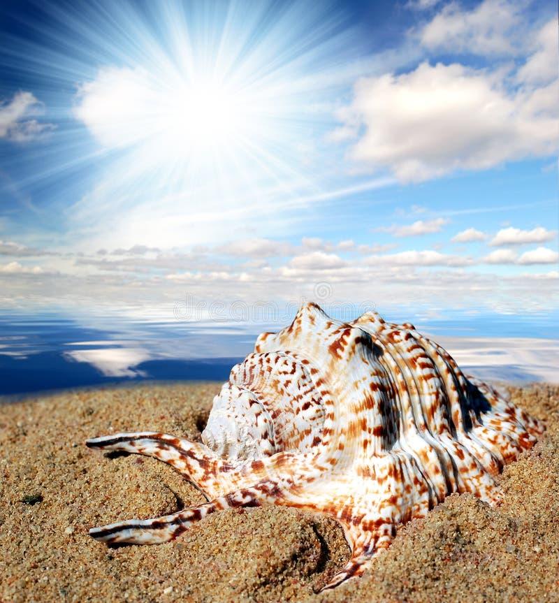 Tritonshornshell auf Strand stockfoto