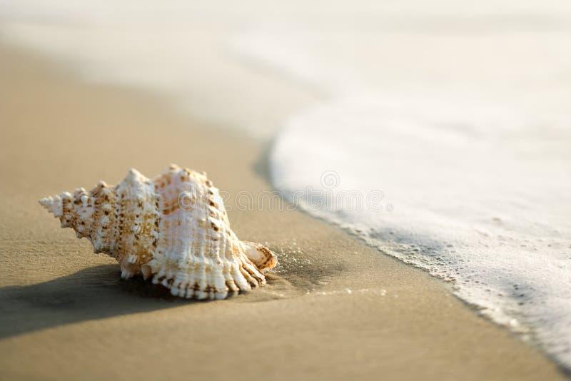 Tritonshornshell auf Strand lizenzfreies stockfoto