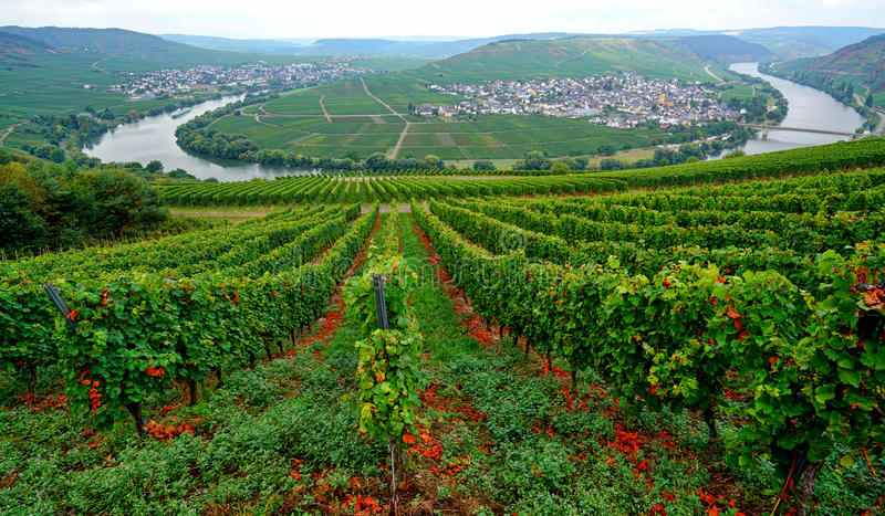 Trittenheim. Famous Moselle river loop in Trittenheim, Germany stock photo