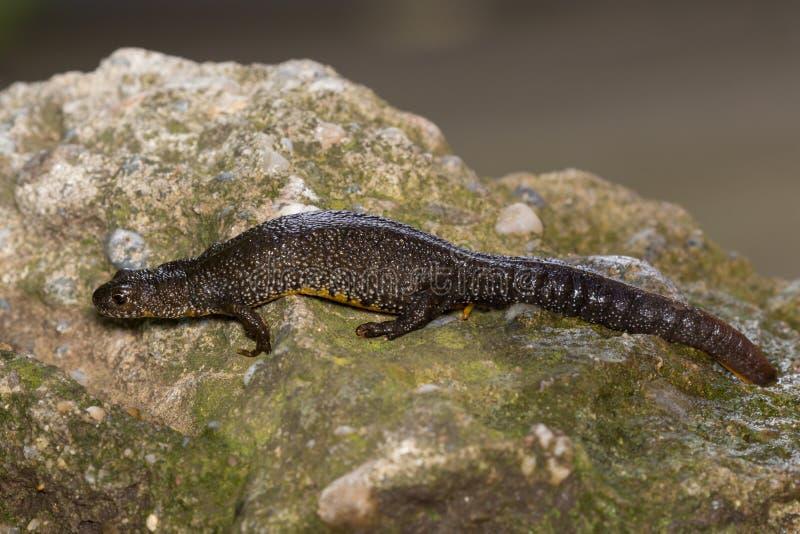 Triturus Dobrogicus,多瑙河有顶饰蝾螈 免版税库存照片