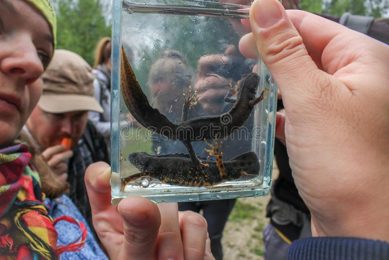 Triturus newts zdjęcia stock