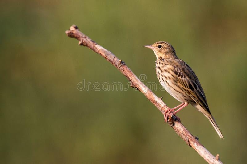 Trivialis del Anthus del prispolone fauna selvatica selvaggia di fotographia naturale dell'habitat dell'uccello immagine stock libera da diritti