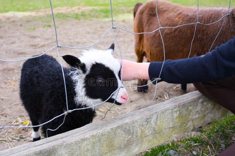 Trocas de carícias da criança uma cabra do bebê na exploração agrícola imagem de stock