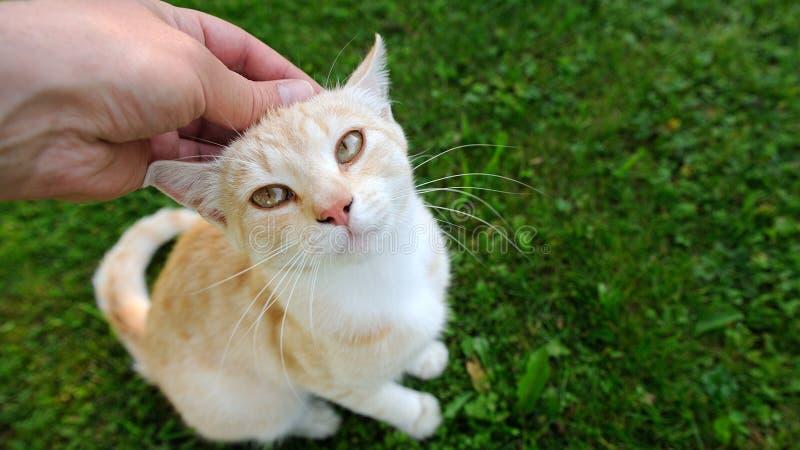 Trocas de carícias da mão um gato (prolongamento do 16:9) fotografia de stock royalty free