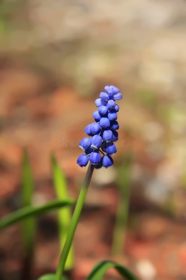 trochę błękitny kwiat obraz stock