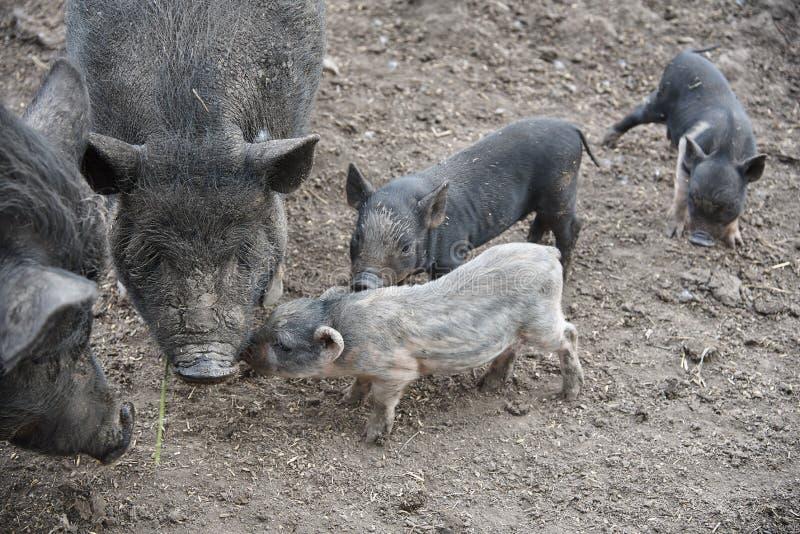 Trochę brudne świnie zdjęcie stock