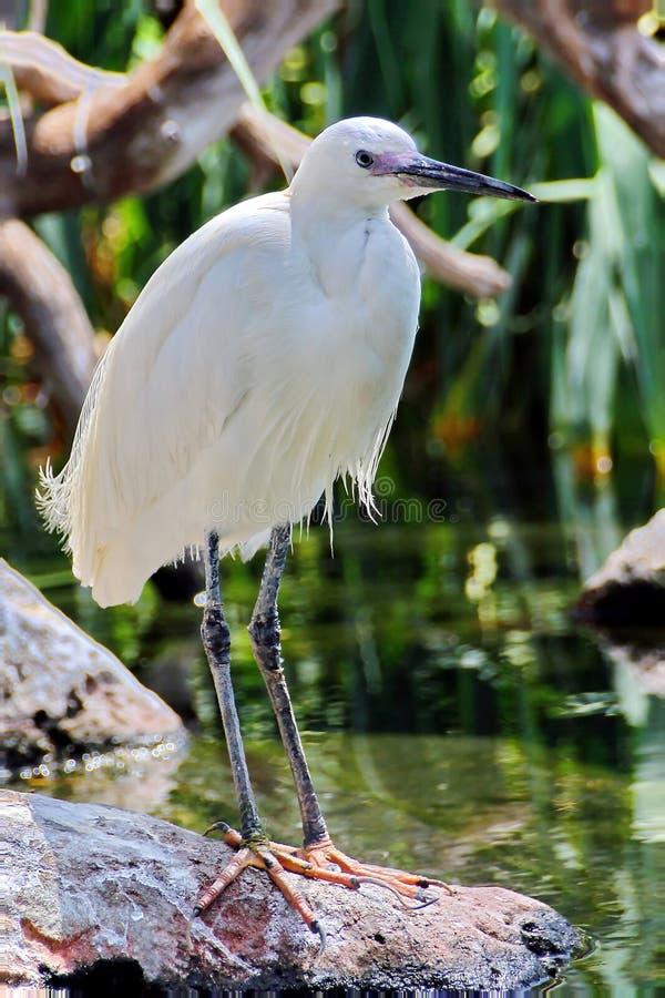 trochę egret zdjęcie stock