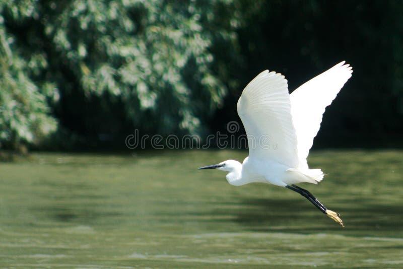 trochę egret obrazy stock