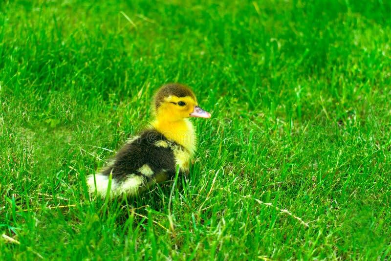 Trochę jeden kaczątko na zielonej trawie zdjęcie stock