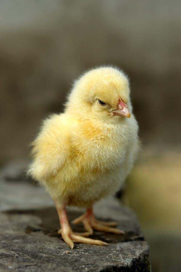trochę kurczaka obrazy stock