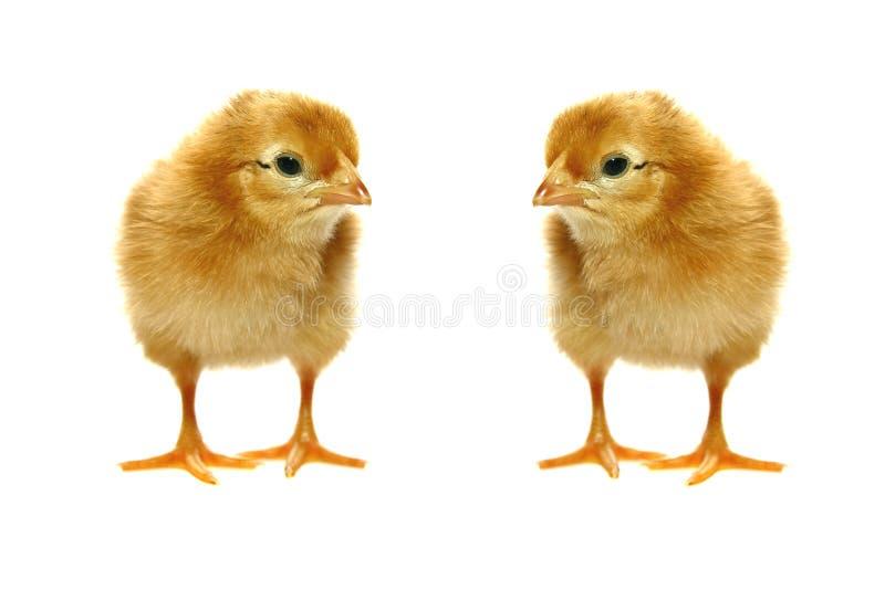 trochę nowonarodzeni dziecko kurczaki fotografia royalty free