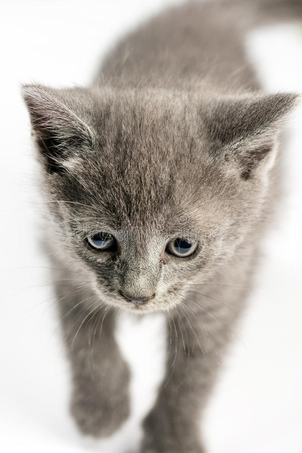 Trochę popielaty kiciunia kot w selekcyjnej ostrości nad białym tłem fotografia royalty free