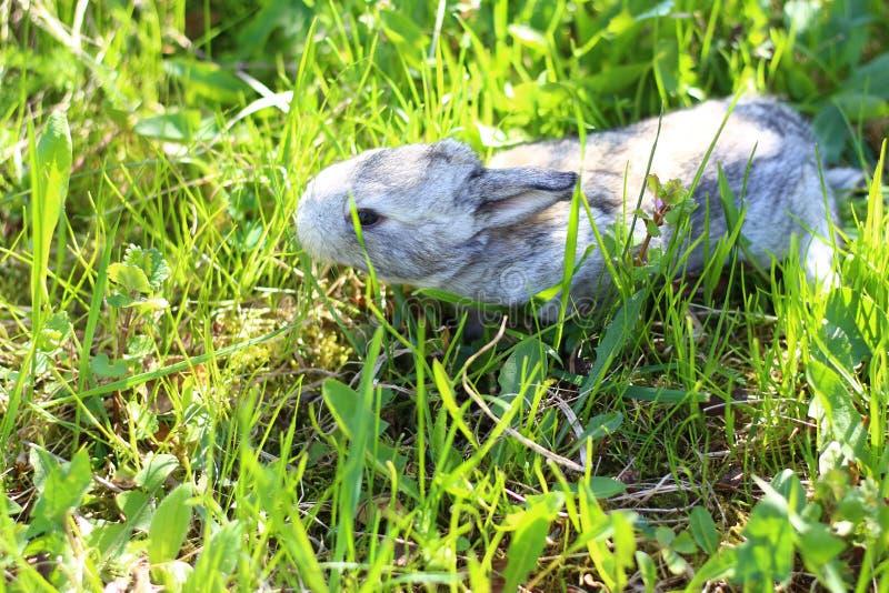 Trochę popielaty królik w trawie fotografia stock
