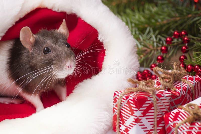 Trochę puszysty szczur siedzi w pudełku na prezent. Boże Narodzenie kapelusz Święty Mikołaj u zwierzęcia Mały szary szczur siedzi zdjęcie royalty free