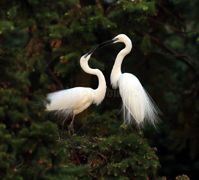 Download Trochę egret zdjęcie stock. Obraz złożonej z dziki, ptaki - 53780008