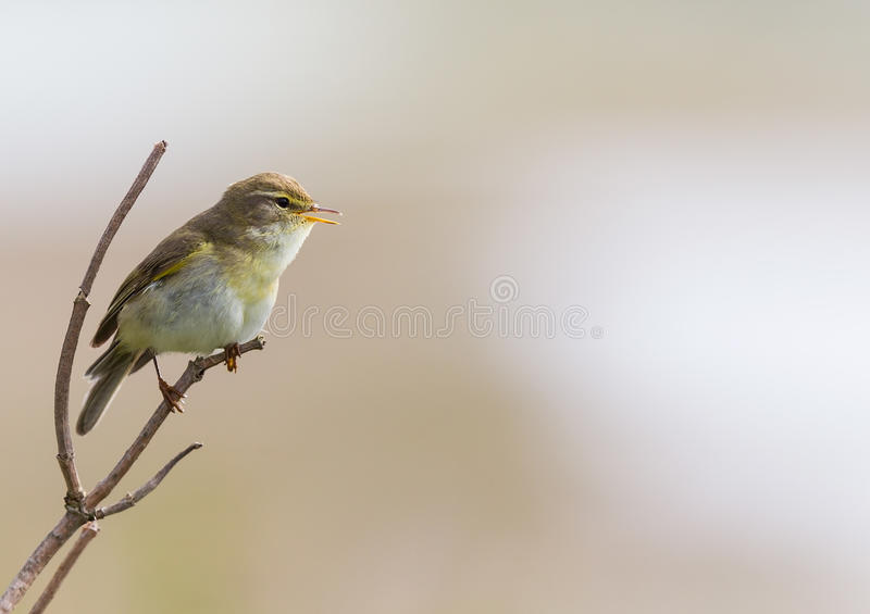 Trochilus Ameland Нидерланды певчая птица-fitis-Phylloscopus вербы стоковые фотографии rf