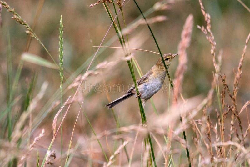 Trochilus de Willow Warbler Phylloscopus imagenes de archivo