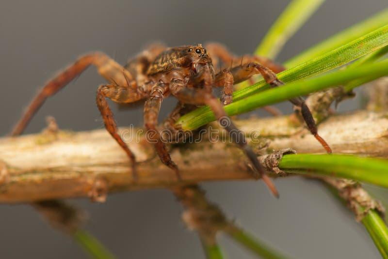 Download Trochosa stock image. Image of nature, predator, macro - 30775679