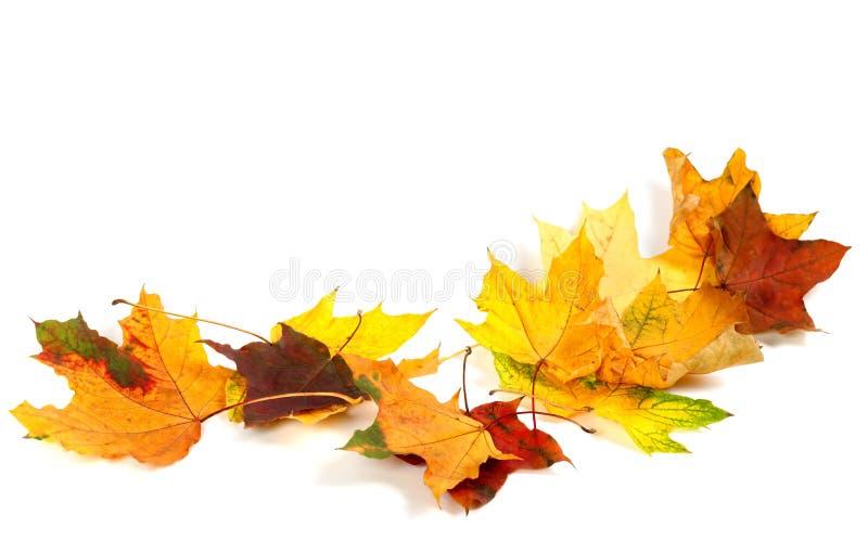 Trockene Ahornblätter des Herbstes auf weißem Hintergrund lizenzfreie stockbilder