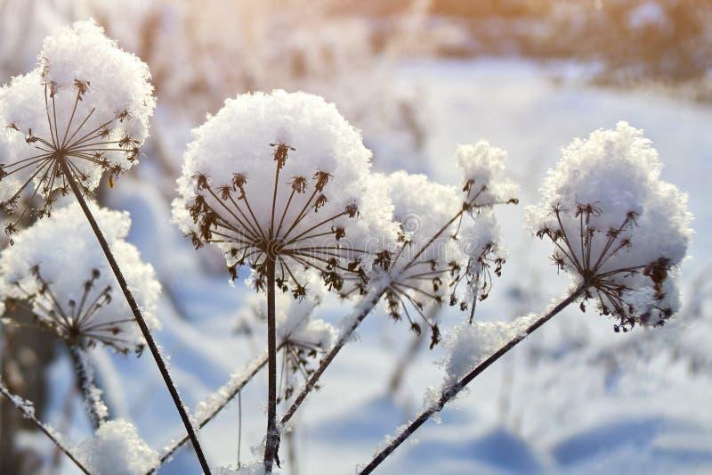 Trockene Anlagen bedeckt mit einer starken Schicht des klaren weißen flaumigen Schnees lizenzfreies stockfoto