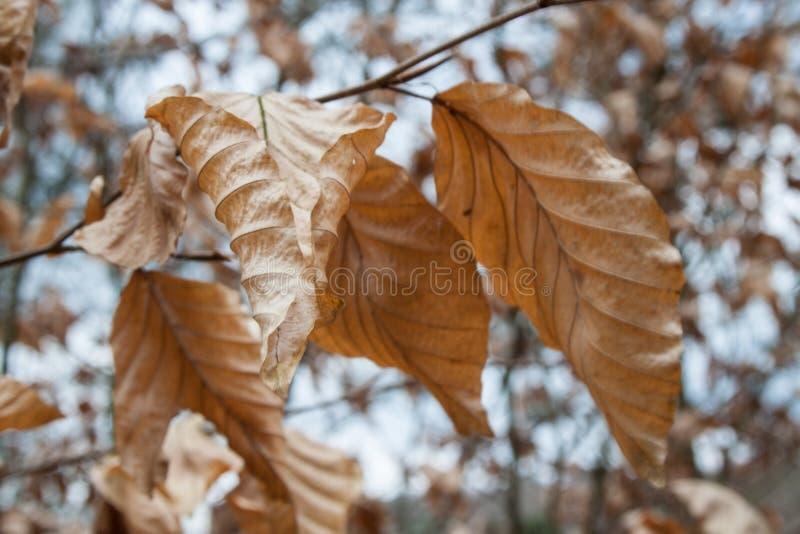 Trockene Blätter auf einer Buche lizenzfreies stockfoto