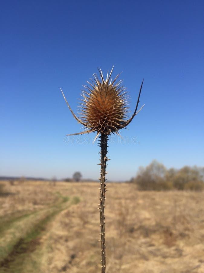 Trockene Blume Dipsacus auf dem Hintergrund des Feldes stockfotos