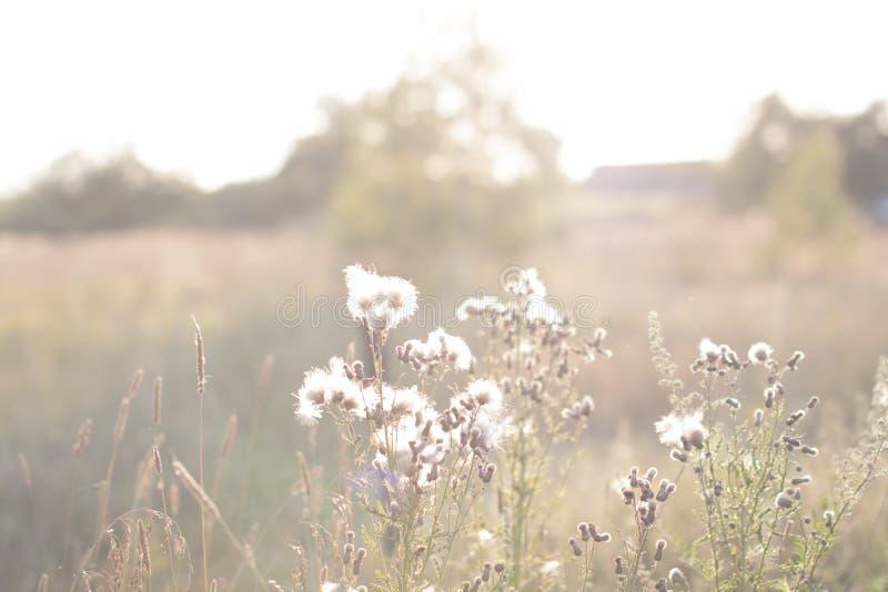 Trockene Blumen auf dem Sommergebiet, natürlicher Sommerherbsthintergrund lizenzfreies stockbild