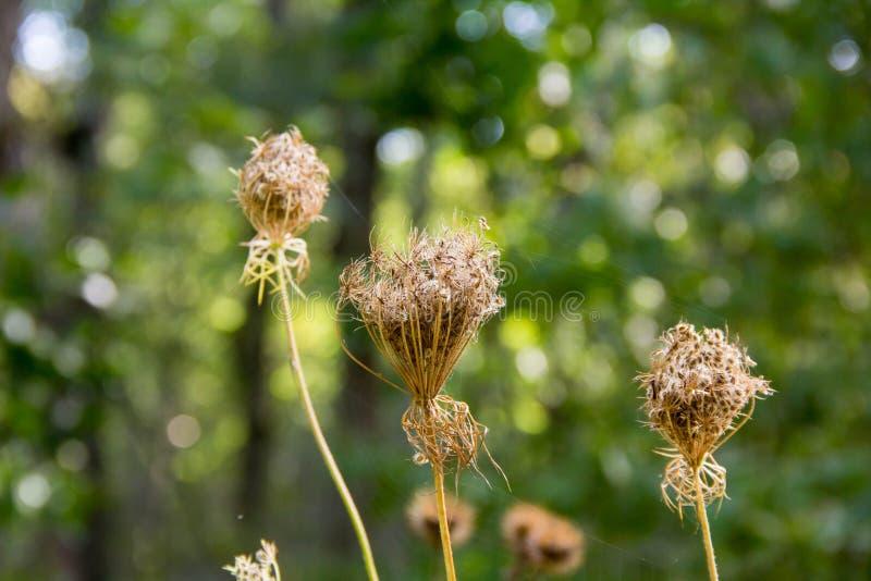 trockene Blumen der wilden Karotte auf undeutlichem grünem Hintergrund stockfotos