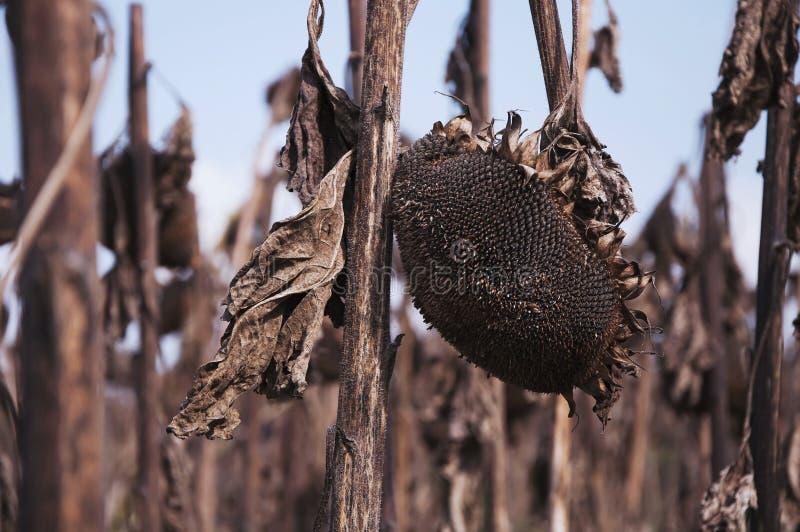 Trockene, defekte Sonnenblumen in Autumn Field Against Blue Sky Konzept, Tod, Schlag, Krieg, Apocalypse lizenzfreies stockbild