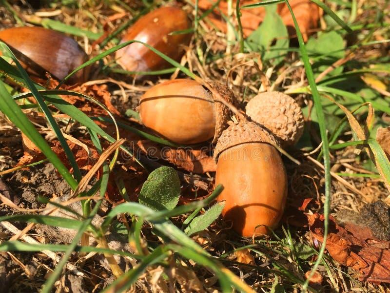 Trockene Eicheln im grünen Gras, Nahaufnahme lizenzfreies stockfoto