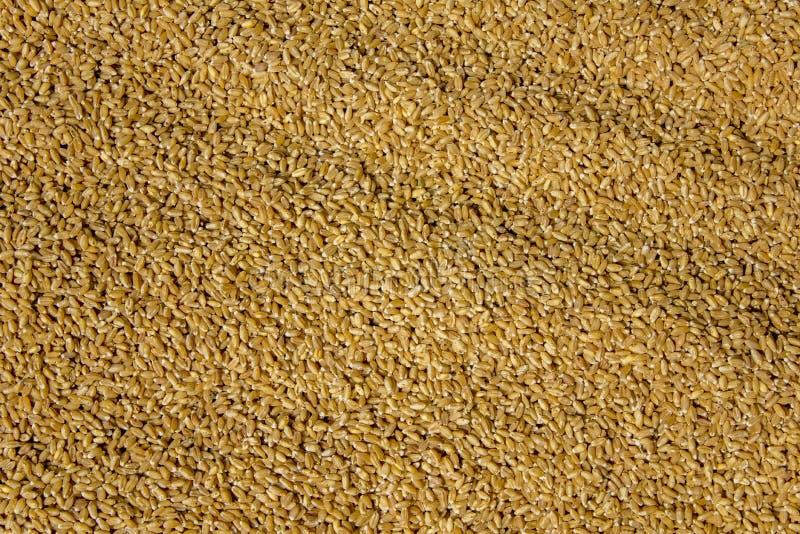 Trockene gelbe Weizenkornnahaufnahme natürliche Oberflächenbeschaffenheit lizenzfreie stockfotos