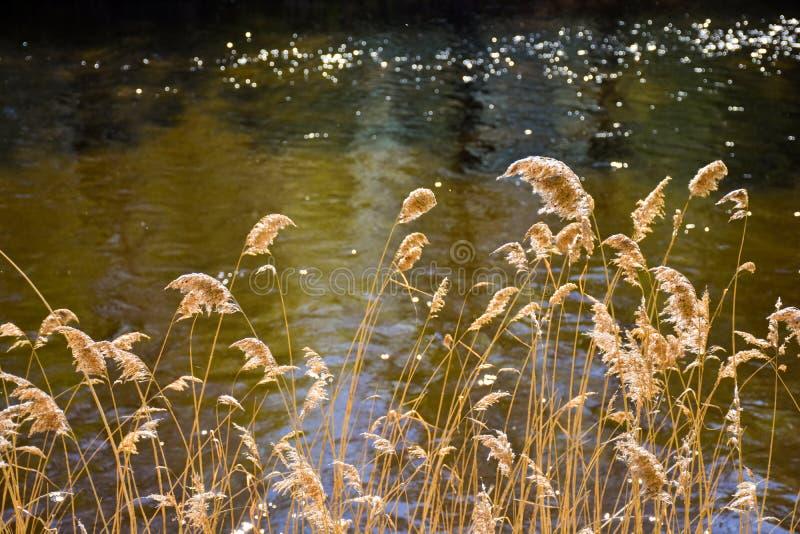 trockene goldene Anlagen genannt im lateinischen Cortaderia in erstem Standort und dem hellen Fluss hinter den Anlagen Das cordat lizenzfreies stockbild