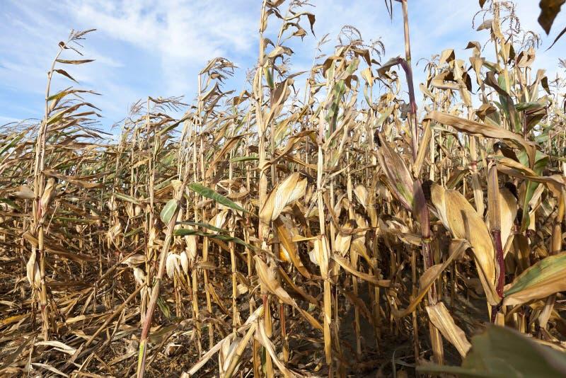 Trockene Mais-Stiele lizenzfreie stockbilder