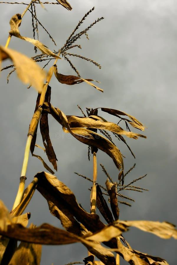 Trockene Mais-Stiele stockfotografie