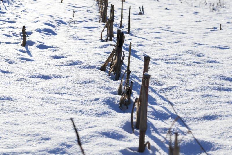 Trockene Maisstiele auf einem schneebedeckten Gebiet stockbild