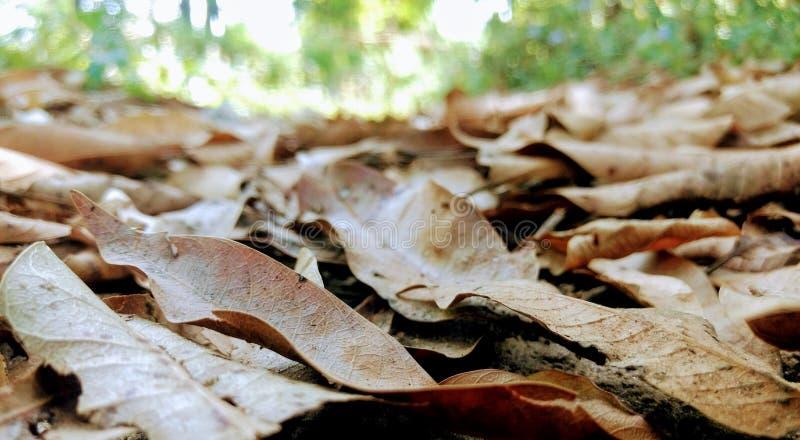 Trockene Mangoblätter lizenzfreie stockbilder