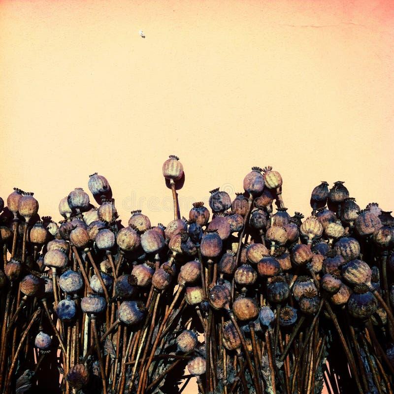 Trockene Mohnblumen stockbild