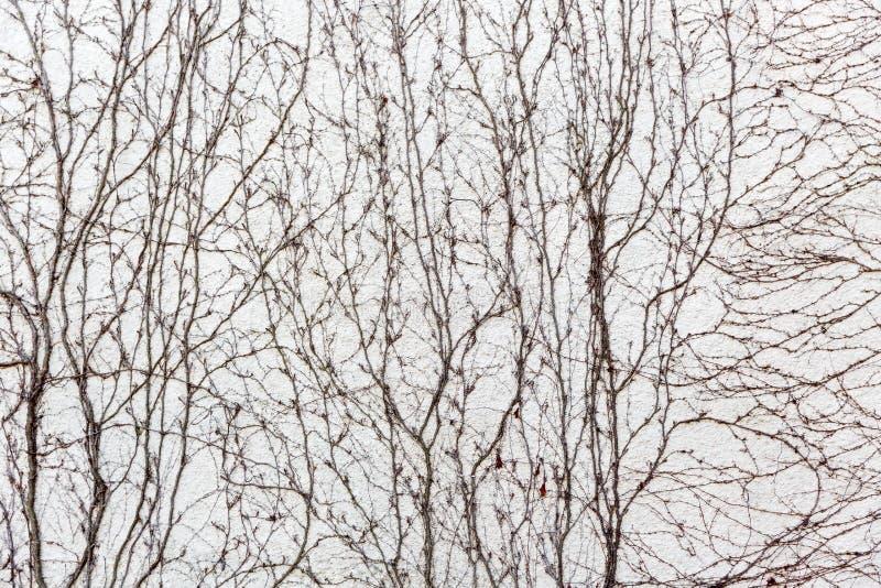 Trockene Reben bedecken die Wand stockfotografie