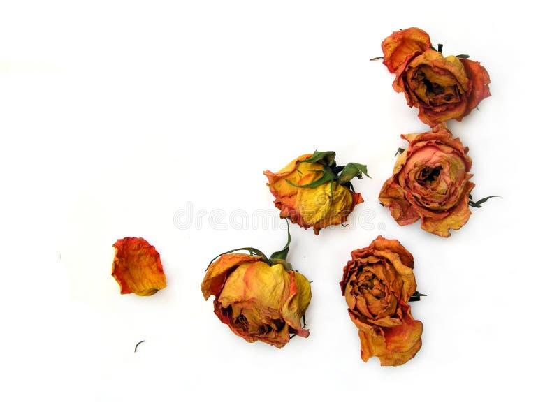 Trockene Rosen 51 zerstreut stockbilder