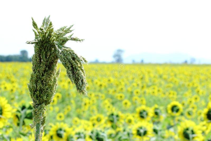 Trockene Sorghum-Granne mit gelbem Sonnenblumenfeld-Hintergrund stockfotografie