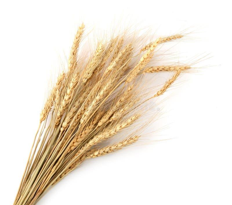 Trockene Weizenkörner verzweigen sich lokalisiert auf weißem Hintergrund stockbilder